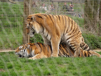 Mating tigers, Marwell Zoo